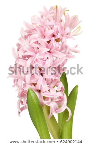 Roze hyacint waterdruppels bloempot geïsoleerd houten Stockfoto © zhekos