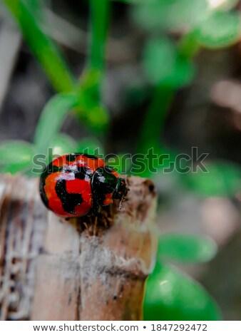 Joaninha sessão madeira abstrato natureza fundo Foto stock © Nejron