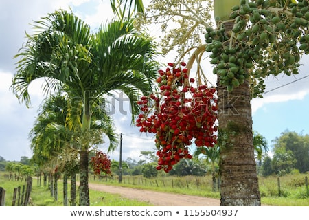 árvore Manila palma frutas tropical amarelo Foto stock © thanarat27