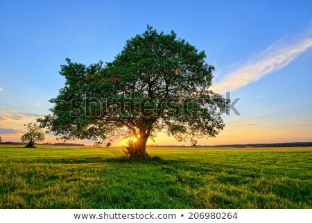 lonely tree at sunset stock photo © kayco