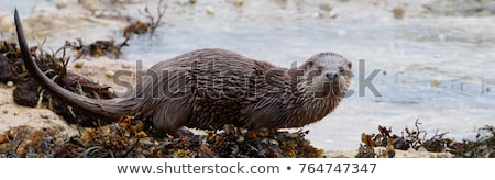 Otter( Lutra lutra) Stock photo © chris2766