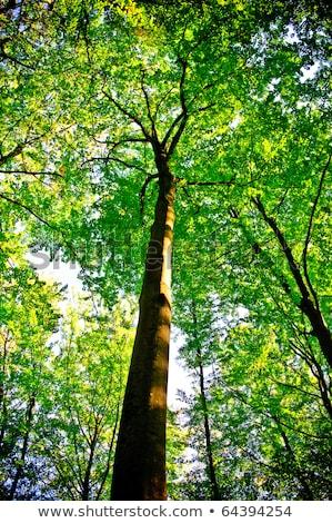 A luz do sol é detectável em árvores na floresta Foto stock © tarczas