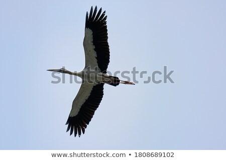 Branco cegonha vôo céu fundo beleza Foto stock © taviphoto