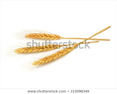 Wheat ears isolated on white background. EPS 10 Stock photo © beholdereye
