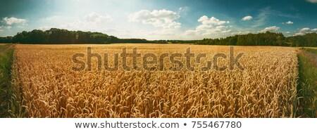 Arany búzamező retro gyönyörű vidéki díszlet Stock fotó © stevanovicigor