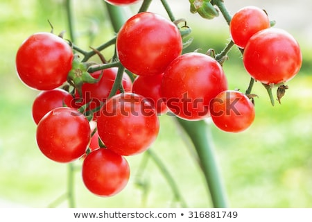 Homegrown organic tomato growing in vegetable garden Stock photo © stevanovicigor