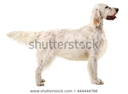 English setter standard in a white photo background Stock photo © vauvau