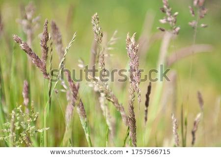 Meadow Clary flower in the springtime Stock photo © digoarpi