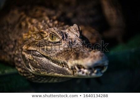 Aligator głowie charakter jezioro skali Zdjęcia stock © saje