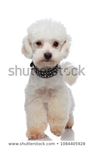 adorable white bichon wearing black spiked collar stepping Stock photo © feedough