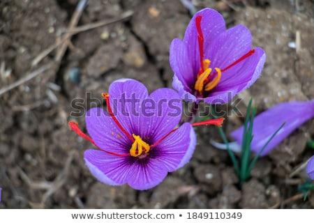 Saffraan krokus bloem geïsoleerd witte keuken Stockfoto © bdspn