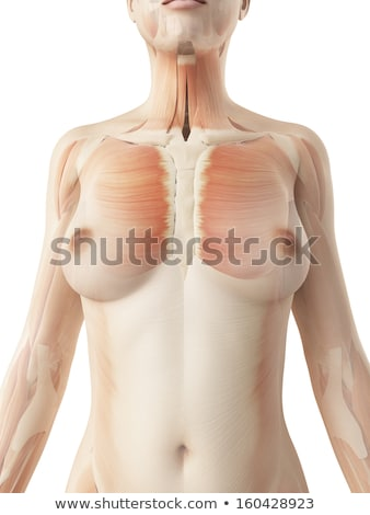 Female Breast anatomy structure Stock photo © Tefi