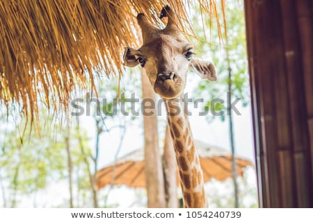 Portrait of a giraffe against a thatched roof stock photo © galitskaya