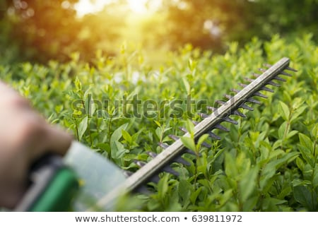 Neatly trimmed garden hedge green leaves. Stock photo © latent