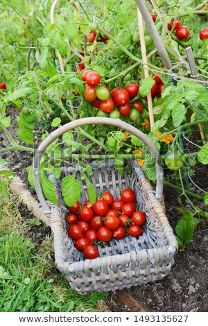 Basket half-filled with cherry tomatoes below a tomato plant Stock photo © sarahdoow