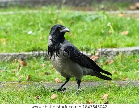 karga · park · ahşap · doğa · kuş - stok fotoğraf © digoarpi