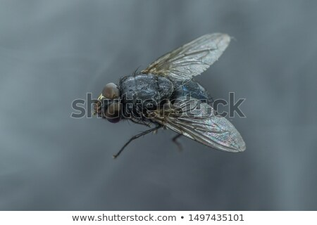 Head of a domestic fly Stock photo © gewoldi
