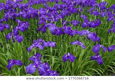 Iris цветок саду зеленый завода Сток-фото © yoshiyayo