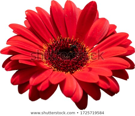 Red gerbera blossom isolated stock photo © ozaiachin