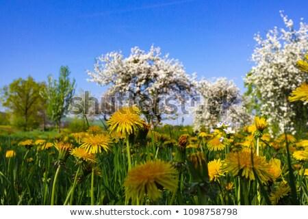 prado · completo · dandelion · cênico · quadro · leão - foto stock © prill