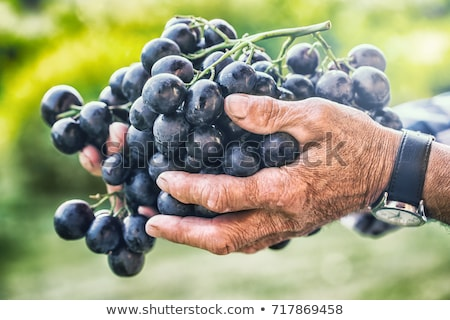A man harvesting grapes. Stock photo © photography33