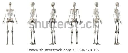 Csontváz elöl hát helyes 3d render orvosi Stock fotó © AlienCat