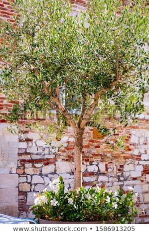 молодые оливками дерево Средиземное море природы Сток-фото © Kuzeytac
