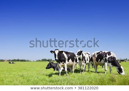 group grazing cow Stock photo © compuinfoto