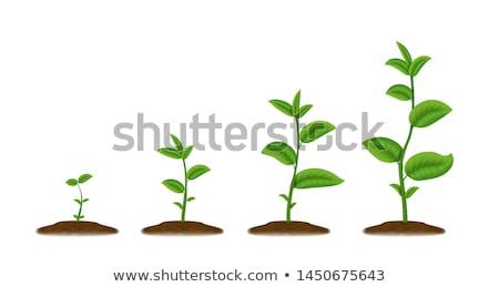Small seedling flower Stock photo © jeffbanke