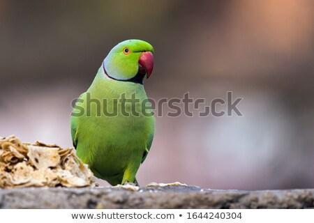 Rose-ringed Parakeet (Psittacula krameri) Stock photo © dirkr