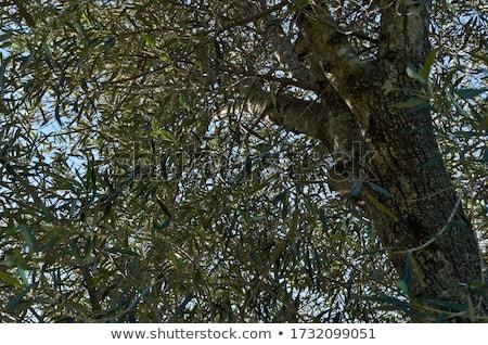 Azeite azeitonas mediterrânico rural folha vidro Foto stock © JanPietruszka