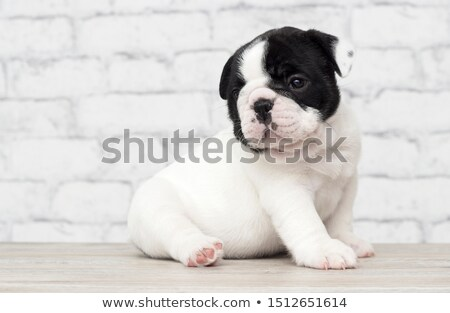 puppy bulldog relaxing in a white studio Stock photo © vauvau