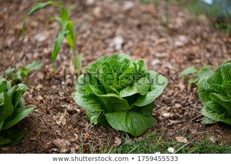 romaine lettuce leaf Stock photo © Digifoodstock