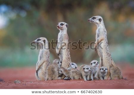 meerkats family in the desert stock photo © adrenalina