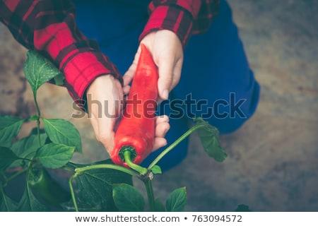 Jeans crescido orgânico jardim Foto stock © stevanovicigor