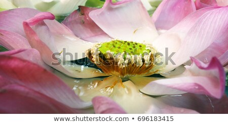 lotus flower in Malaysia Stock photo © compuinfoto