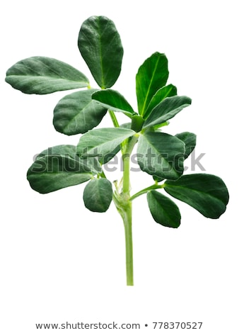 Fenugreek Trigonella foenum-graecum plant, paths Stock photo © maxsol7