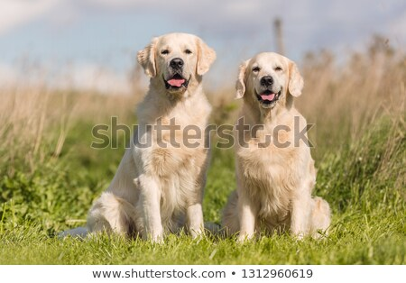 dois · golden · retriever · cães · ao · ar · livre · ensolarado - foto stock © vauvau