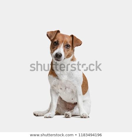 Portret godny podziwu jack russell terrier odizolowany szary Zdjęcia stock © vauvau