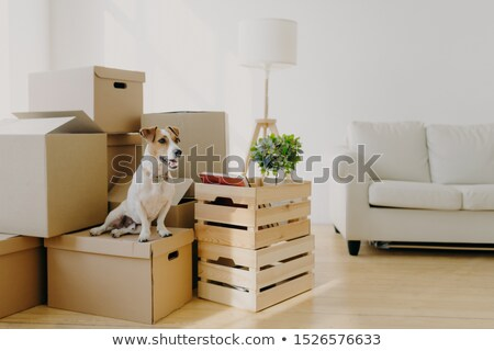 Indoor shot of little pedigree dog poses on cardboard boxes, removes in new dwelling with owners, lo Stock photo © vkstudio