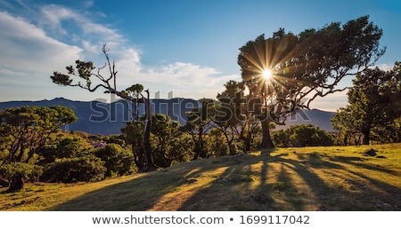 Mystical Fanal laurisilva forest at Madeira island, Portugal Stock photo © boggy