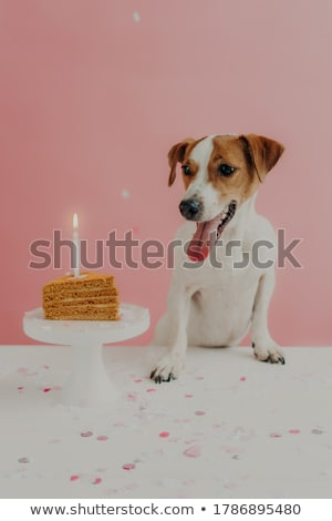 Vertical shot of jack russel terrier dog celebrates one year birthday, poses near delicious cake wit Stock photo © vkstudio