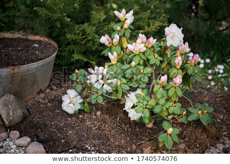 Group of azalea flowers blooming in the garden  Stock photo © kawing921