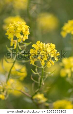 Oilseed rape close-up Stock photo © MKucova