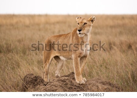 Female Lion Looking for Prey Stock photo © rognar
