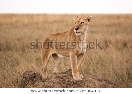 мужчины · лев · добыча · животного · высокий · трава - Сток-фото © rognar