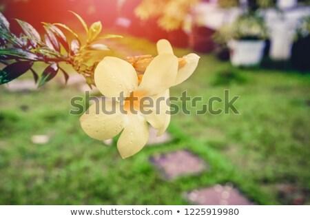 トランペット 花 ヴィンテージ 庭園 自然 ストックフォト © sweetcrisis