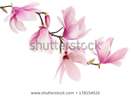 pink magnolia flowers on a branch stock photo © pixelman