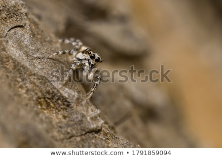 Ritratto zebra spider natura estate studio Foto d'archivio © t3rmiit