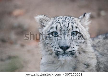 Leopárd kamera park Dél-Afrika állatok fotózás Stock fotó © simoneeman